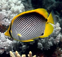Adorable Butterfly Fish