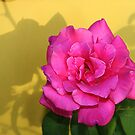 Pink Rose On Yellow by June Holbrook