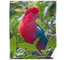 King Parrot (Alisterus scapularis) at Pebbly Beach Poster