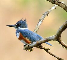 Belted Kingfisher Ready to Dive by Chris Coates