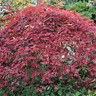 Japanese Maple by kathiemt