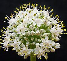 Bloomin' Onion by Mitchell Tillison