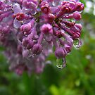 Lilac Tears by Tracy Faught