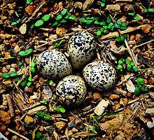 Quail Eggs - HDR by Sanguine