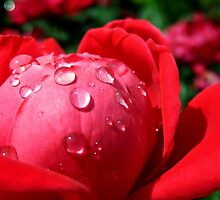 RAINDROPS ON RED ROSE by Sandra  Aguirre