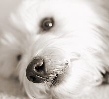 West Highland White Terrier - Ernie by adellecousins