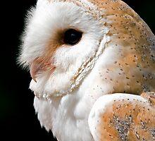 Barn Owl by Paulie-W
