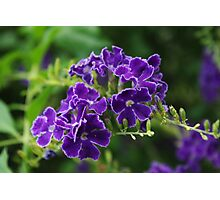 Duranta Photographic Print
