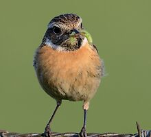 Stonechat - IV by Peter Wiggerman