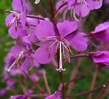 Fireweed - Epilobium angustifolium by Karen Karl
