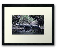 Gator at St Marks  Framed Print