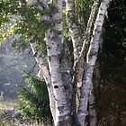 Brothers Birch by Judith Hayes