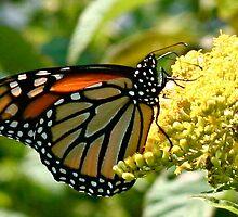 Monarch by Lindsaycope
