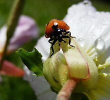 LADYBUG ON A BUTTERCUP by Sandra  Aguirre