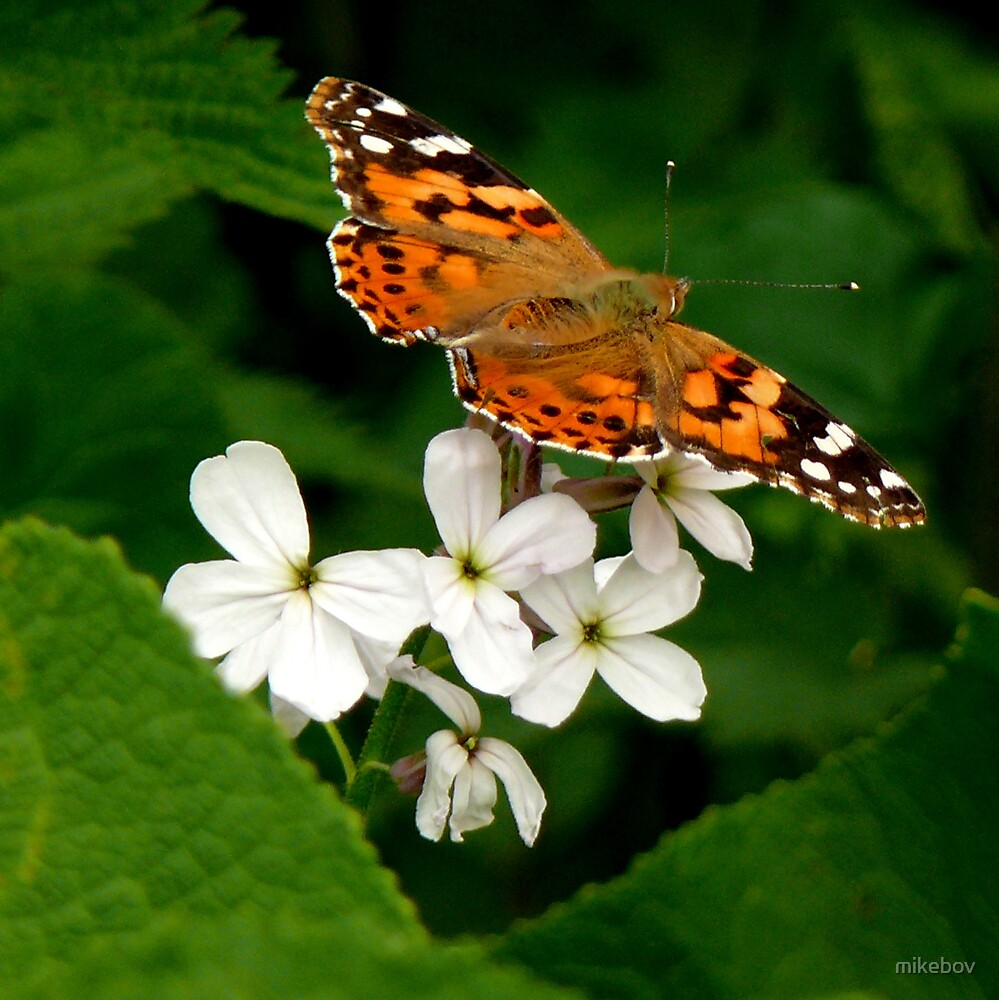 Painted Lady Butterfly by mikebov