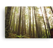 sunlight in trees, Mount Seymour, British Columbia Canvas Print