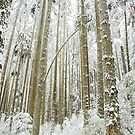 new snow, Pacific Spirit, Vancouver by Christopher Barton