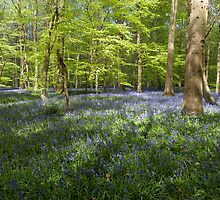 Bluebells Coxsetter's wood   by Jim Hellier