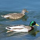 Mr.& Mrs. Mallard... by DonnaMoore