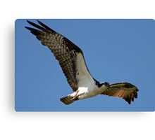 Osprey on the Hunt Canvas Print