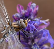 Dragonfly by Rob Lavoie