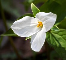 Spring Trillium by Kathy Weaver