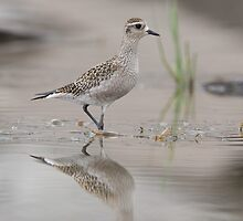American Golden Plover by DigitallyStill