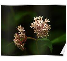Milkweed Blossom Poster