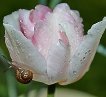 Angelique Tulip with Little Visitor by AnnDixon