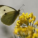 Cabbage White Butterfly on RapeSeed Flower by AnnDixon