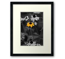 Single Isolated Yellow Black Eyed Susan Flower in Black and White Garden Background Framed Print