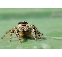 Jumping Spider 2 Photographic Print