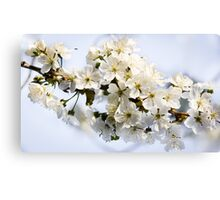Blossoming sweet cherry Canvas Print