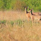 Spring Deer by Brian Dodd