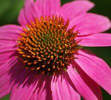coneflower macro 2 by Brenda Loveless