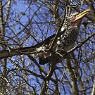 Yellow Billed Hornbill - South Africa by Bev Pascoe