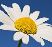 Daisy by John Burtoft
