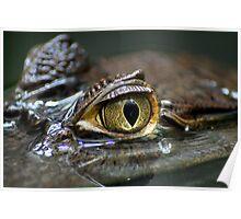 cayman eye crocodile reptile Poster