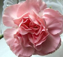 pink carnation. by loriotndorr