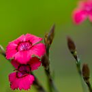 Alpine flower in garden  by Nala