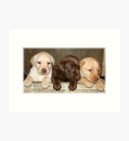 Box of labradors Art Print