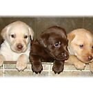 Box of labradors by tawaslake