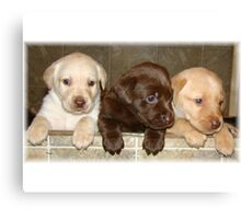 Box of labradors Canvas Print