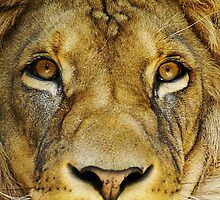 lion face eyes by Klaus Vartzbed