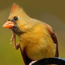 Female Cardinal with an Itch by Photography by TJ Baccari