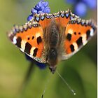 Small Tortoiseshell Butterfly by rumisw