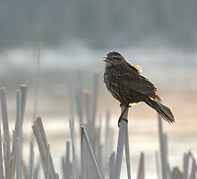 Female Red Winged Black Bird on Dried Marsh Grass Evening Light Neutral Soft Colors Fine Art Bird Photograph by jocelynsart