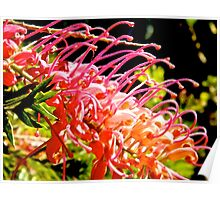 native red bottlebrush  Poster