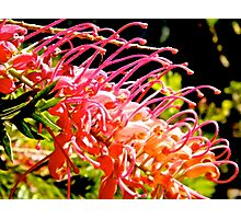 native red bottlebrush  Photographic Print