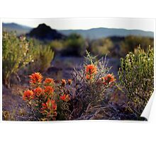 Palomino Valley Indian Paintbrush Poster